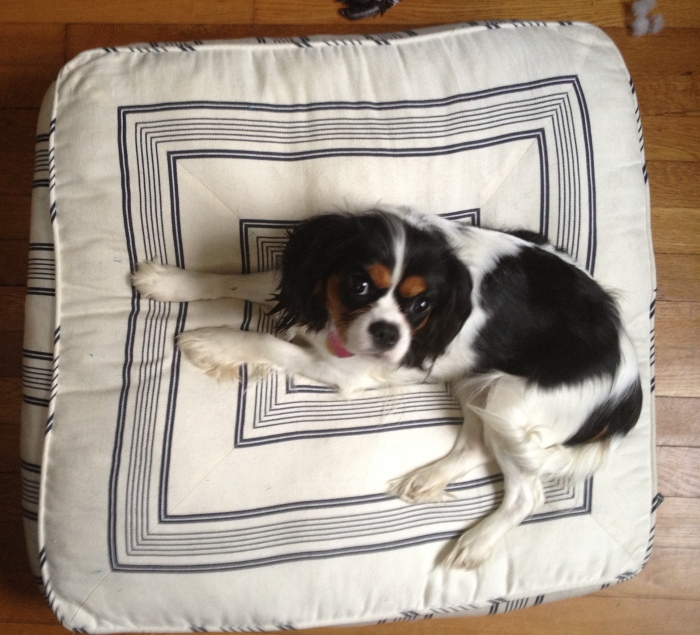 Cavalier King Charles in dog bed