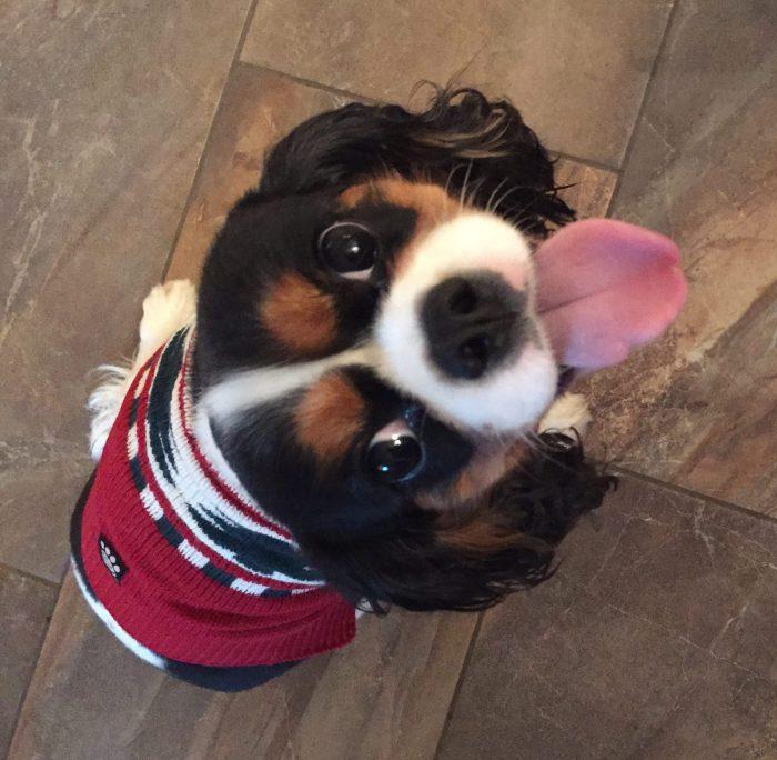 dog holiday sweater