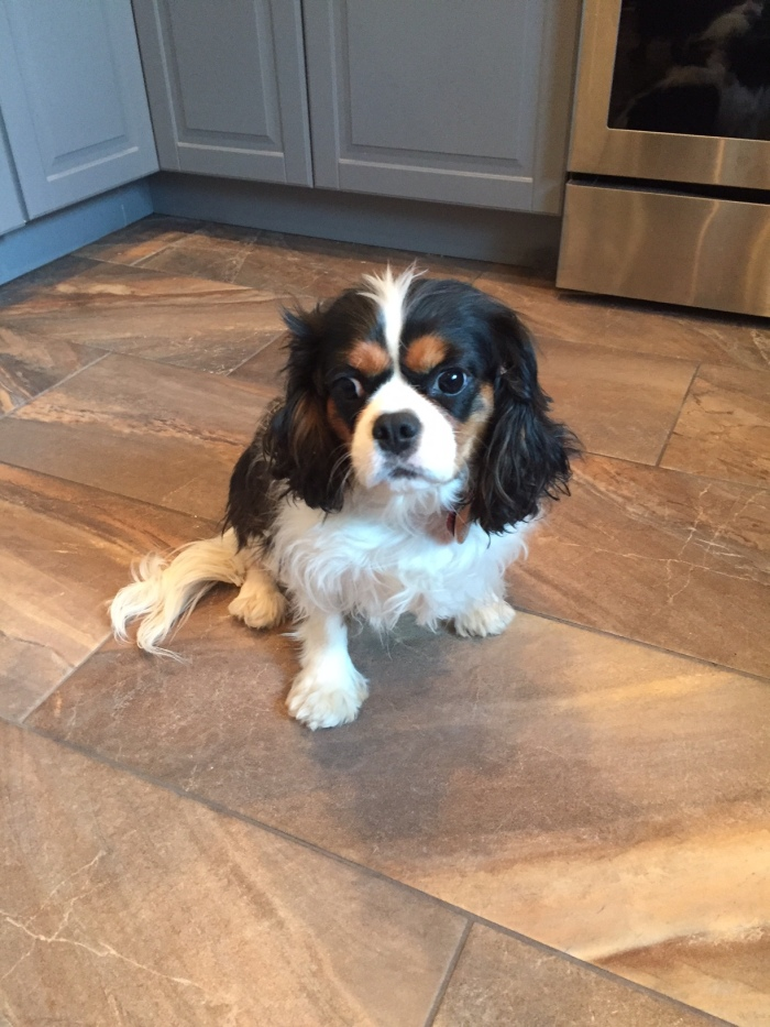 Bitsy the Cavalier King Charles Spaniel